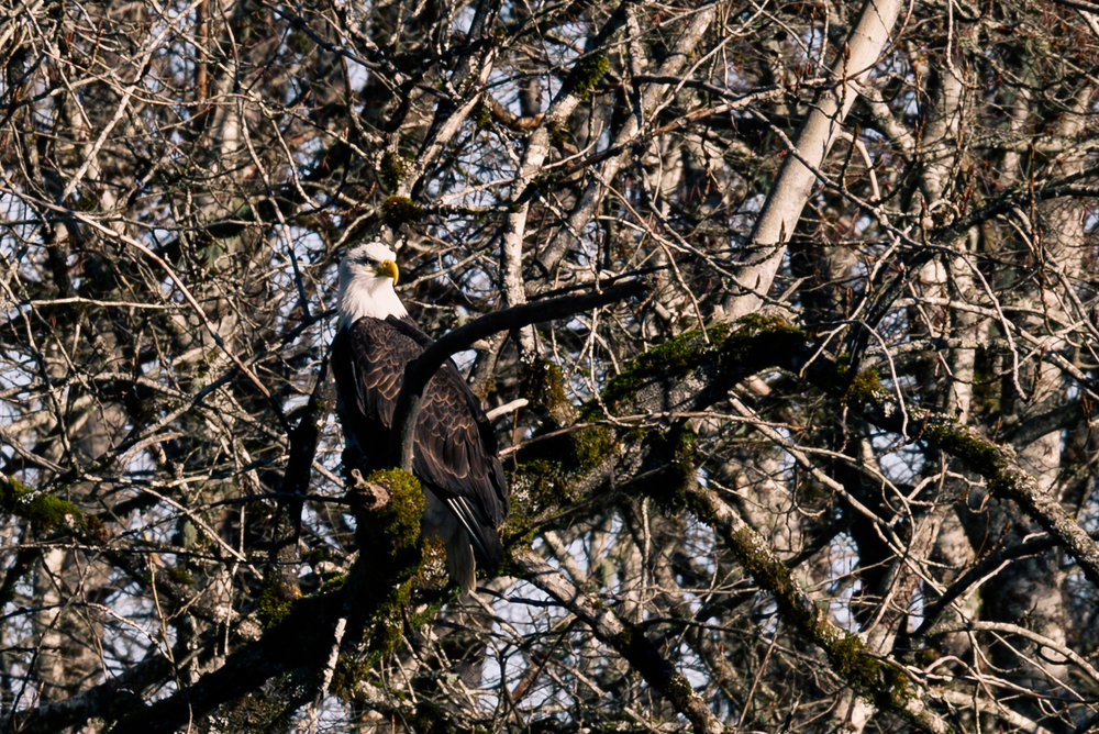 An adult Bald eagle