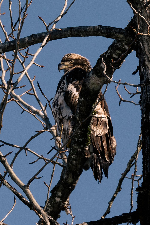 An immature bald eagle