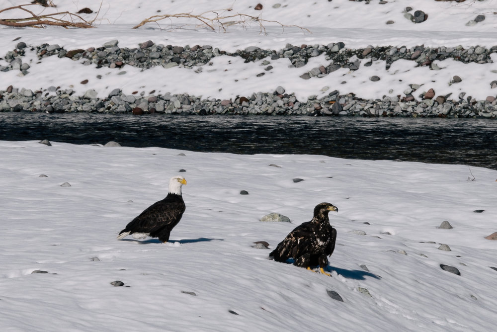 An immature and an adult Eagle on a river shore