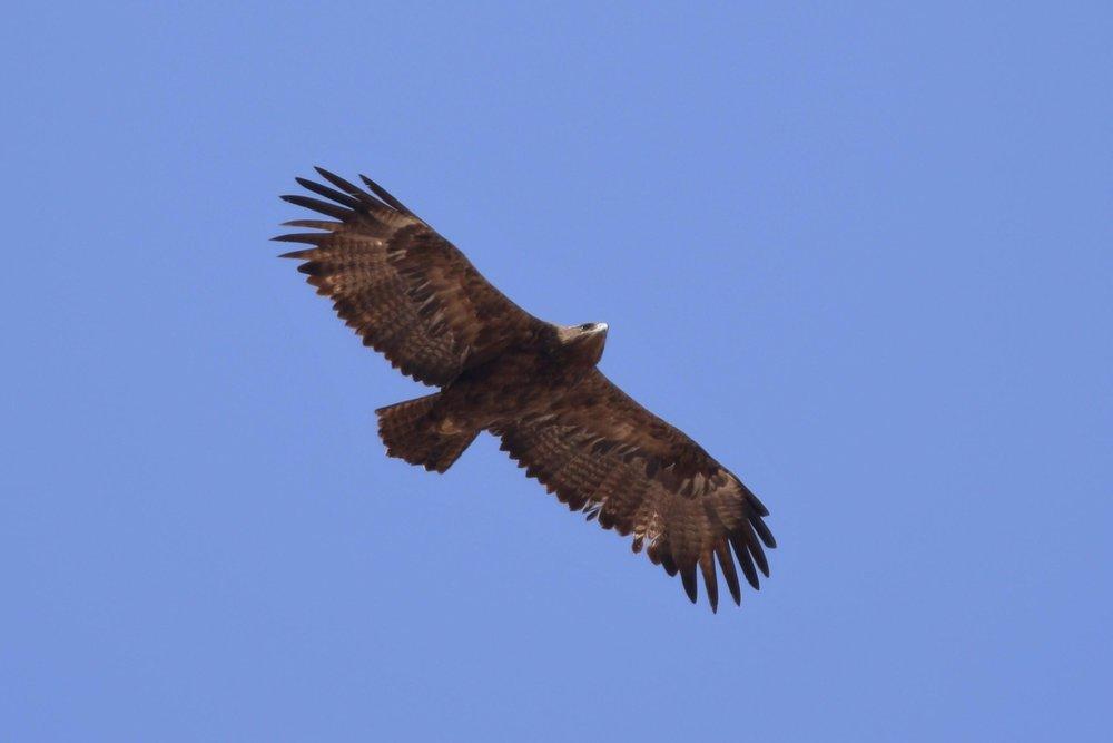 Figure 1 : Aigle des steppes (Aquila nipalensis) Photo : Noé Terorde
