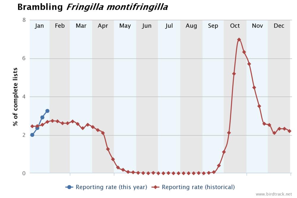 Phénologie du Pinson du Nord (Fringilla montifringilla) au Royaume Uni. La courbe rouge représente le pourcentage de listes complètes mentionnant l'espèce pour l'ensemble des années. La courbe bleue donne les résultats de 2019 (Graphe issu de  BirdTrack ). Ce genre de graphe sera bientôt disponible pour la Wallonie et Bruxelles.