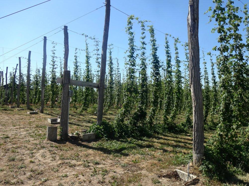 climbing bines brewery