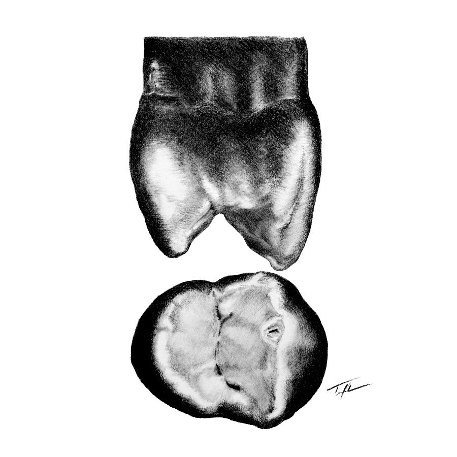 A drawing of a maxillary premolar I made for Dental Morphology Class.