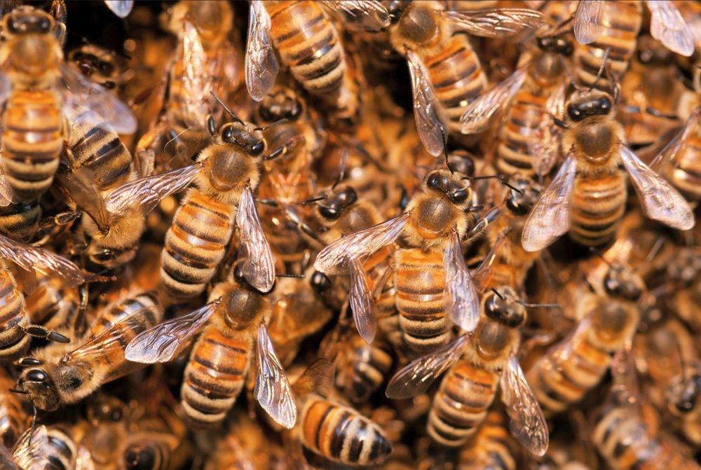 Swarm of bees.JPG