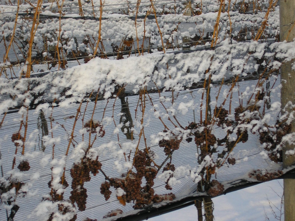 Triggered by the recent deep freeze, just last week frozen grapes were harvested at Henry of Pelham in St. Catherines three weeks earlier than last year.