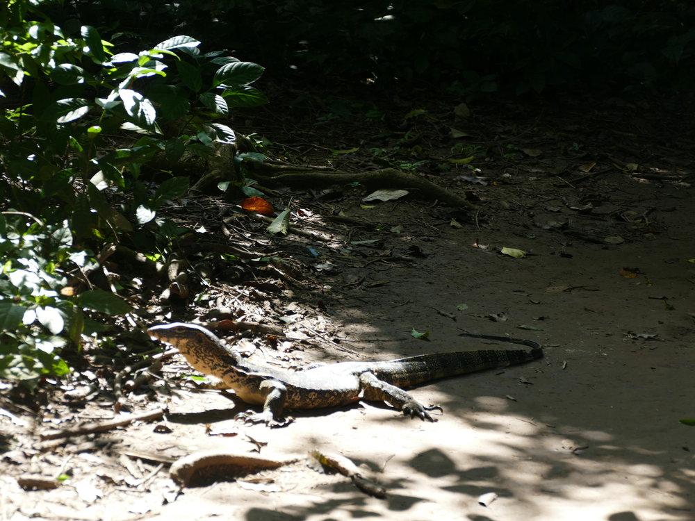 Une moins belle rencontre!! Un varan de près de 2 mètres. Disons qu'on a attendu qu'il rebrousse chemin avant de continuer!