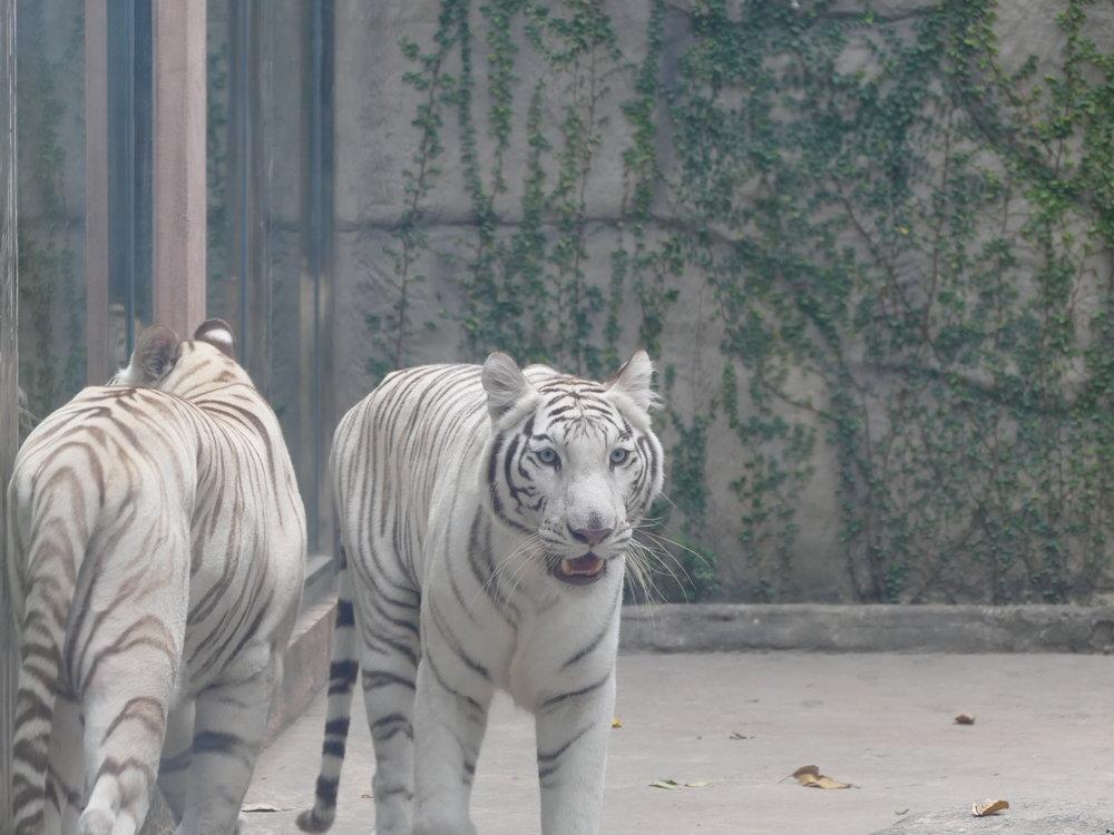 Ce tigre blanc a sauté dans la fenêtre quand il a vu Emmy. Elle a eu toute une frousse.
