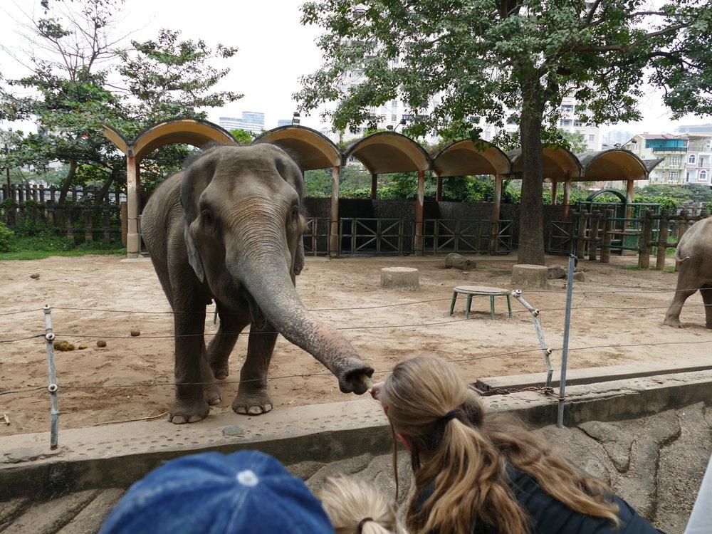 Aurélie qui donne la canne à sucre à cet éléphant!