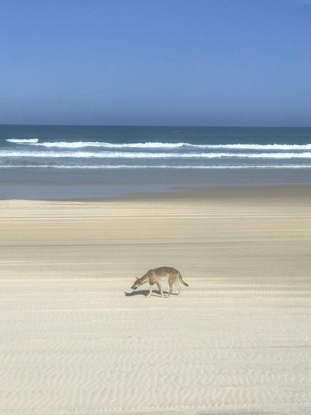 Une rencontre qu'il ne faut pas prendre à la légère, celle avec un dingo