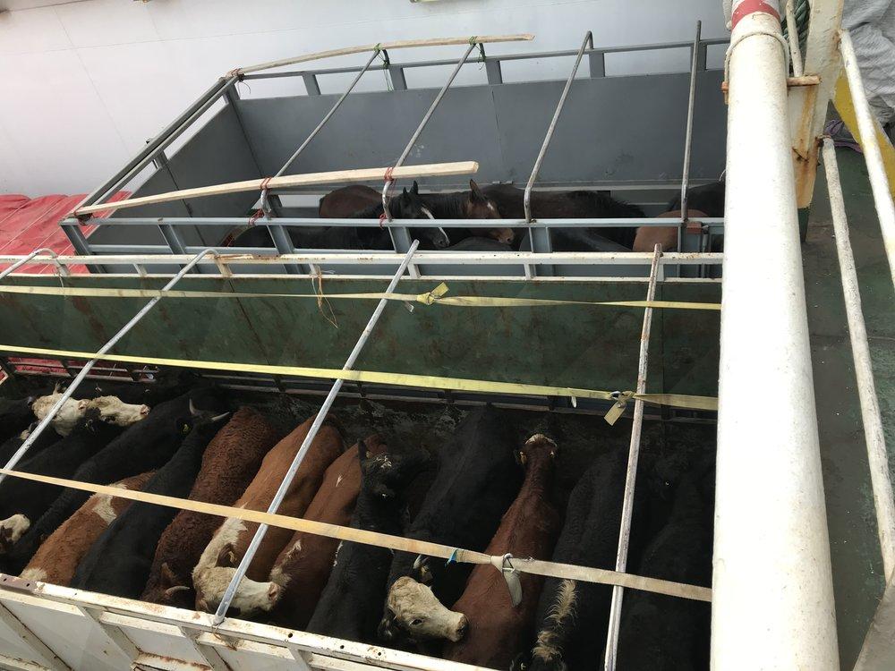 Si jamais on a un problème, on ne manquera pas de viande! En fait cette route maritime est la seule permettant de remonter vers le nord sans passer par l'Argentine, alors plusieurs camionneurs étaient de la partie sur le bateau.