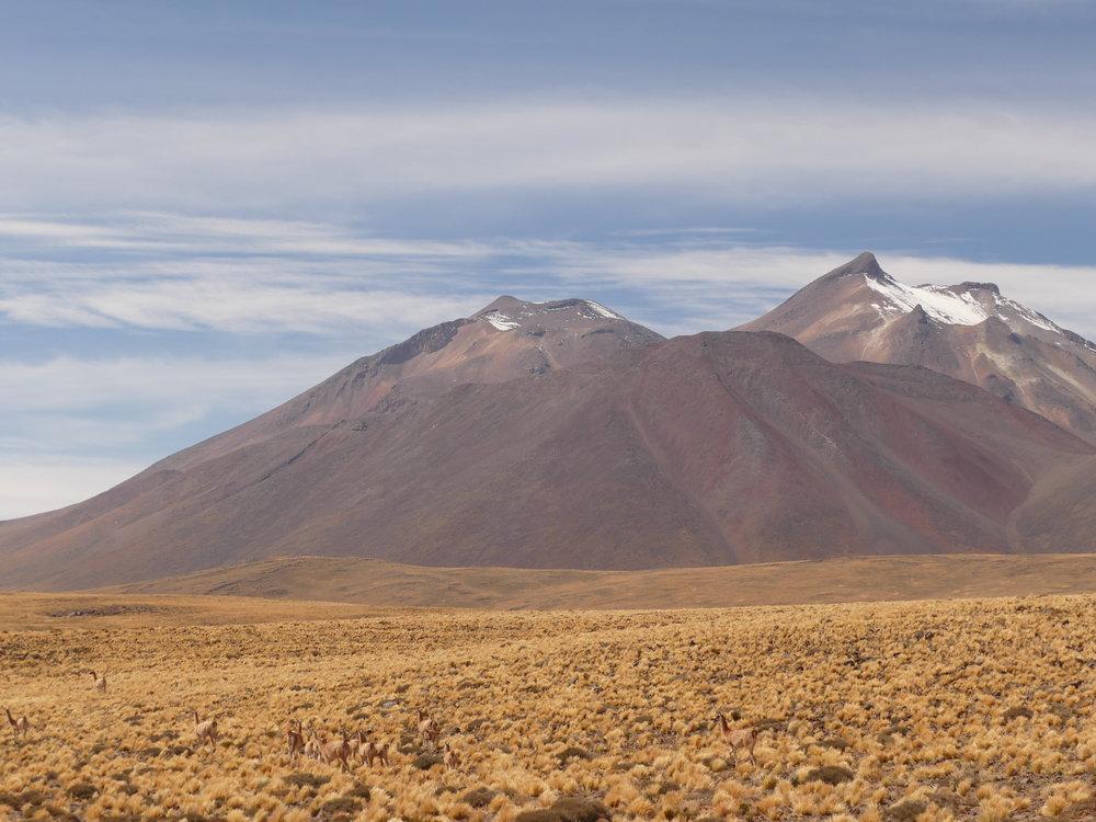 Habitants de l'altiplano..les vigognes.