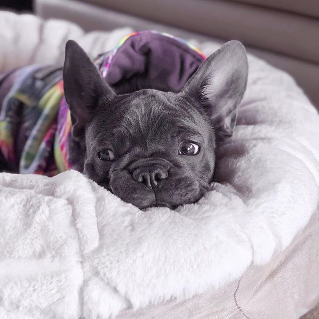 Frenchie friday featuring our very own @rezzthepup 💜 on our favorite dog bed @animalsmatterinc and tie dye hoodie @frenchie.world . . . #lovewhereyoulive #friday#frenchbulldog #frenchie #frenchiesofinstagram #animalsmatter #animalsmatterinc #cozy #doglover #interiordesign #interiordesigner
