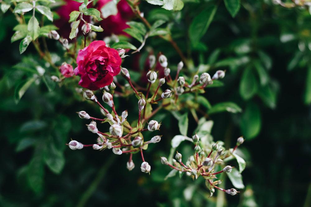 An Elizabethan Rose | Glenbeigh, Ireland | June 2016