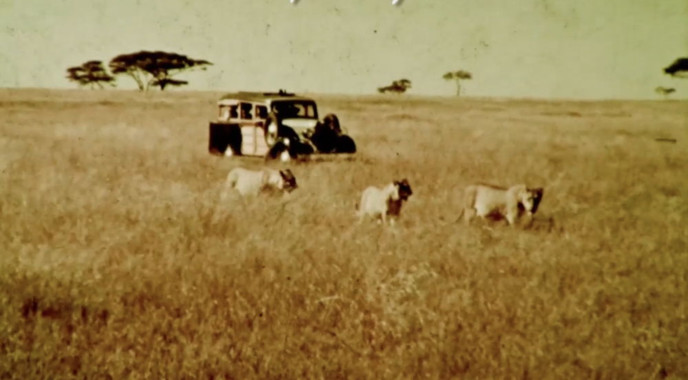 An expedition car from the Sykes safari shadows a lion pride on the Serengeti, 1937