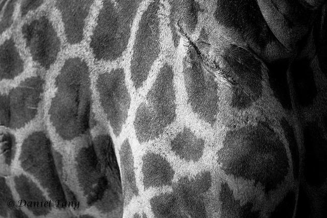 giraffe skin.jpg