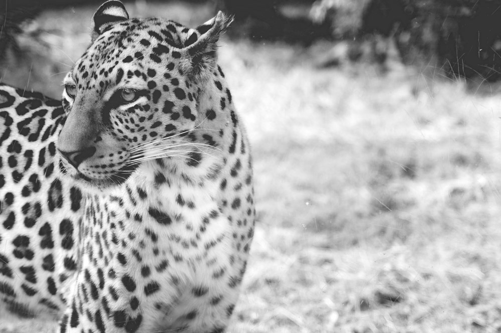 leopard 3 side.jpg