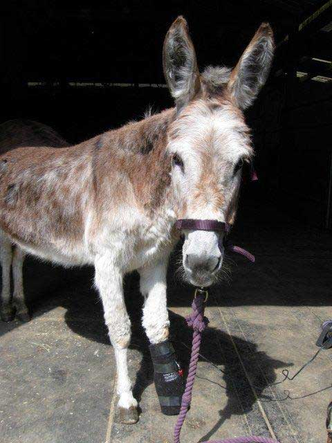 Donkey named Skoshie receives Light Therapy on a sore hoof.
