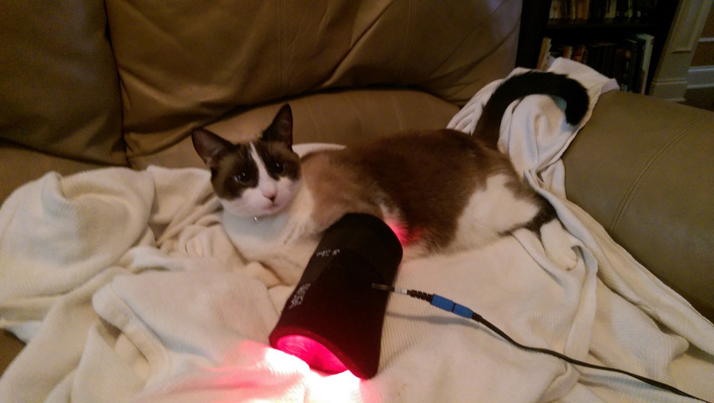 Canine Light Therapy works on cats too!