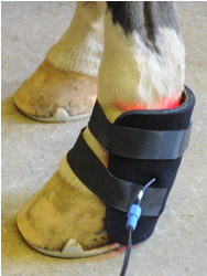 Small Light Therapy pad on hoof