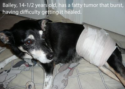 Older dog with debilitating infected fatty tumor.
