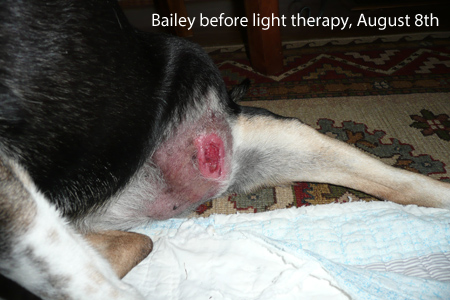 Dog's infected tumor before Canine Light Therapy
