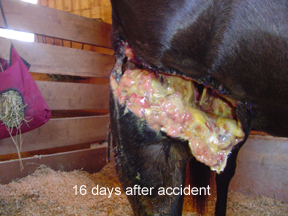 Massive wound to horse right front leg.