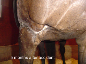 Wound closed, leg functional again by using Equine Light Therapy.
