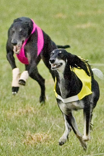 Saluki tendon injury heals much faster with Canine Light Therapy.