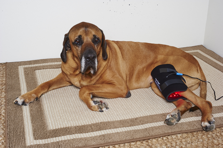 """Gospel's"" Medium Light Therapy pad wrapped on knee"