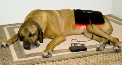 Great Heart falls asleep during his light therapy.