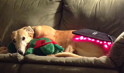 Rosie enjoys her light therapy with her toy turtle.