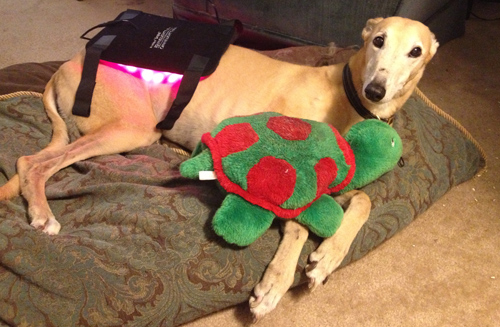 Rosie always does her light pad therapy with her favorite stuffie in tow. She just loves this part of the day!