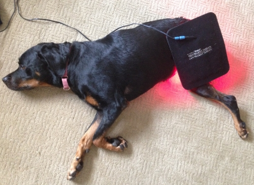 Shelby enjoying her Canine Light Therapy treatment!