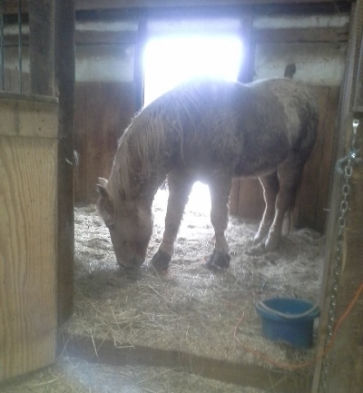 Cody with Equine Light Therapy® pads on his front feet.