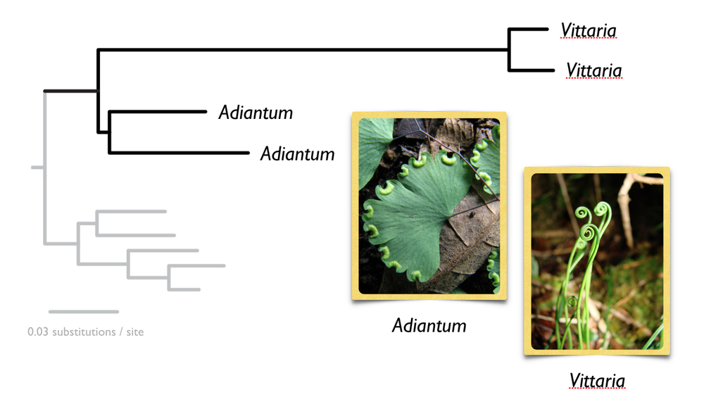 Rapid molecular evolutionary rates in the morphologically extreme vittarioid ferns.