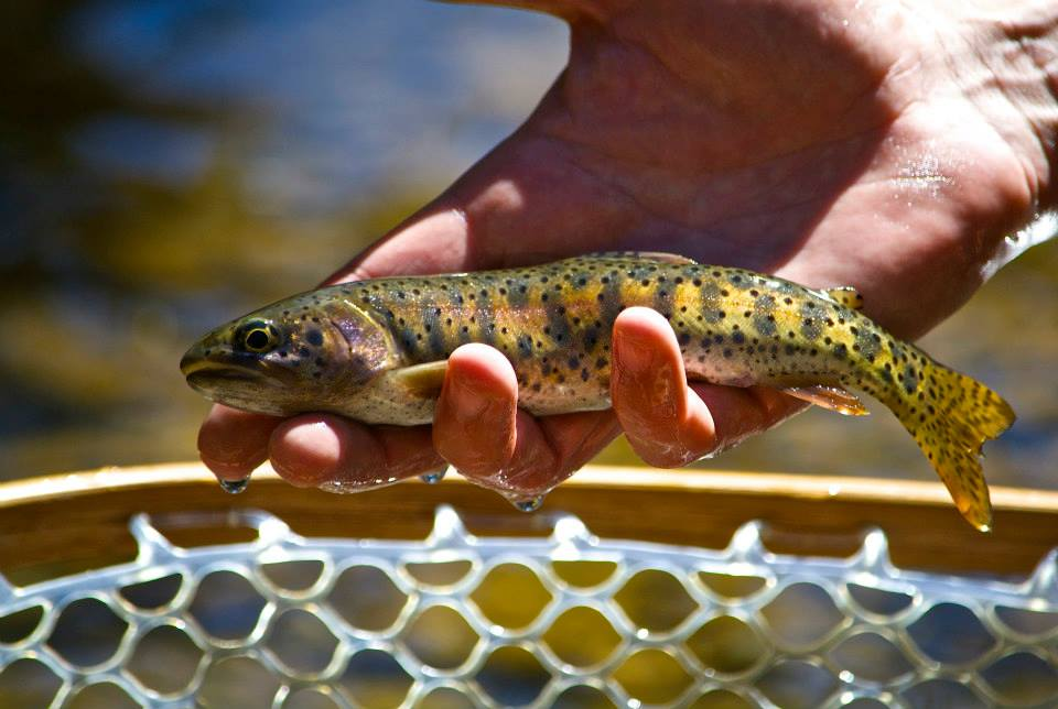 baetis-and-stones-heritage-trout-7.jpg