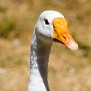 Google goose