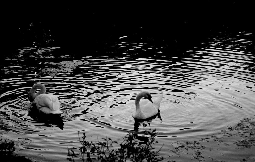 swans under 10.jpg