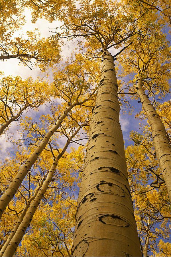 c1ebfd5cc517b64e3db5a208efe61b50--aspen-trees-perspective.jpg
