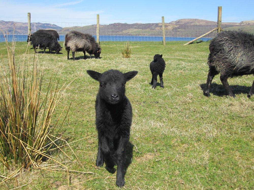 Lambsfrontfield.jpg