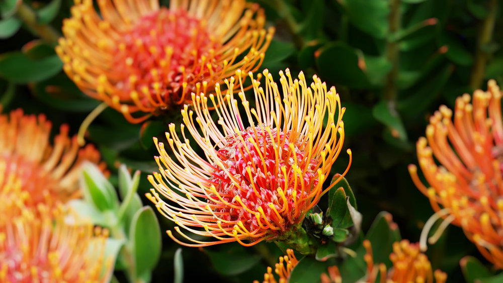 beverly-smart-african-protea.jpg