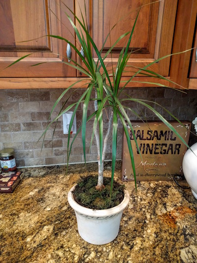 Here's my red-margined dracaena tree.  It doesn't look bad really, but it has looked a lot droopier than usual so I figured I better check the roots.  This will work a million times better if your plant is pretty dry so don't try if you've just watered it.