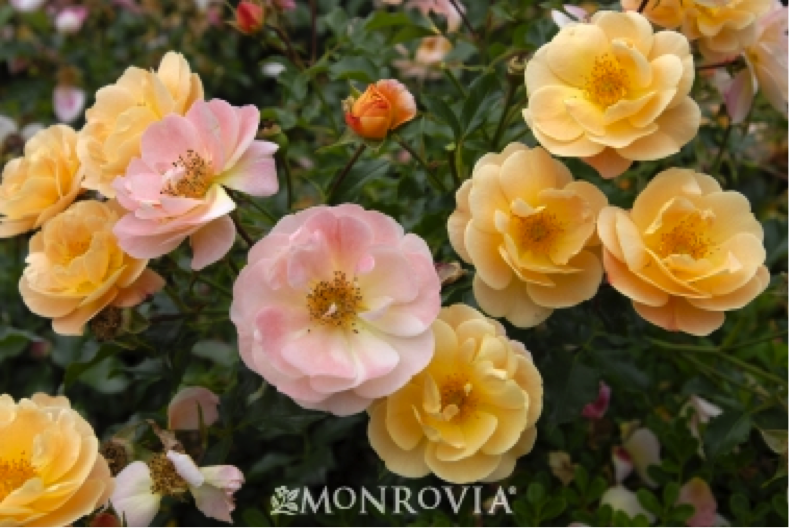 http://www.monrovia.com/plant-catalog/plants/1229/flower-carpet-amber-groundcover-rose/