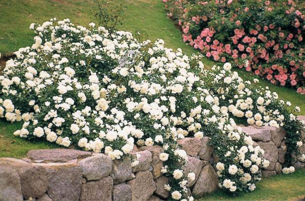 Plant spotlight flower carpet groundcover rose ag trac landscape normal 0 false false false en us ja x none style definitions mightylinksfo Image collections