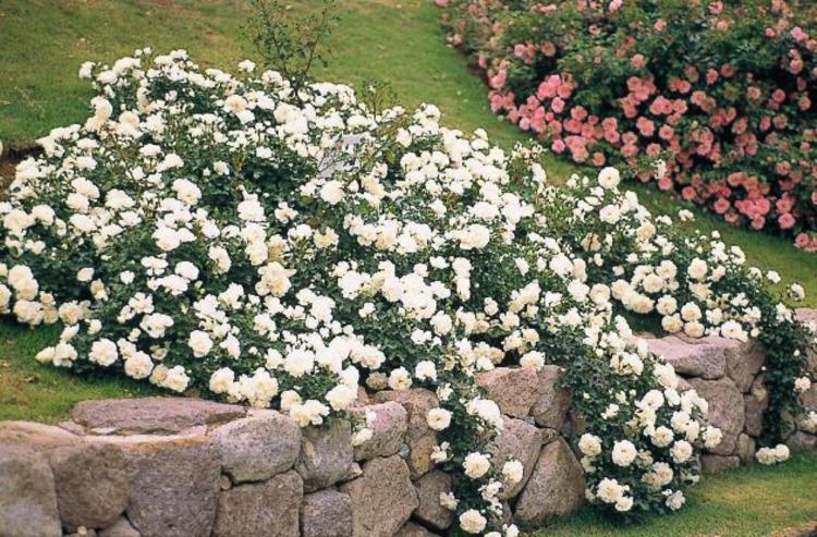 Plant spotlight flower carpet groundcover rose ag trac landscape normal 0 false false false en us ja x none style definitions mightylinksfo