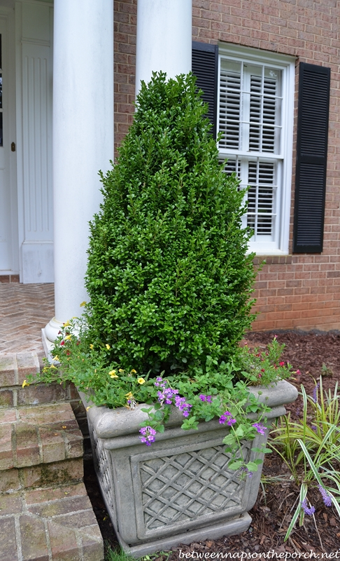 http://betweennapsontheporch.net/wp-content/uploads/2013/09/Container-Gardens-with-Boxwood-Topiary-in-a-Pyramidal-Shape.jpg