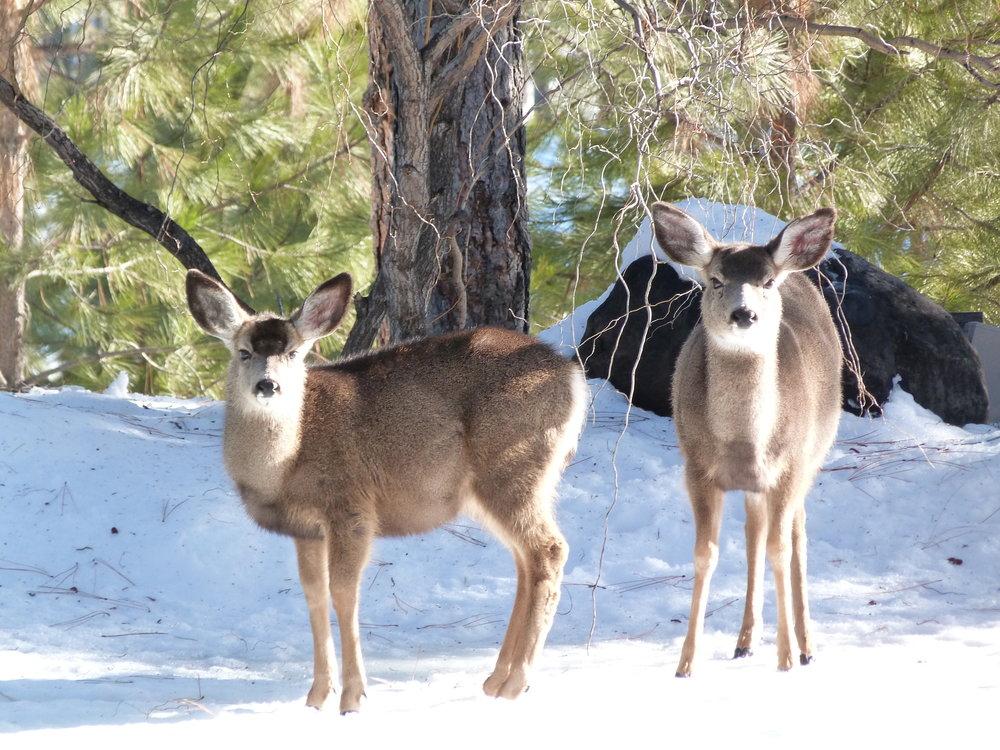 Tumalo Mule Deer