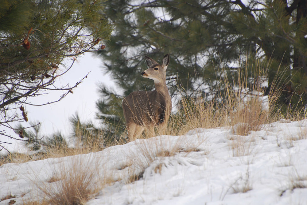 Central Oregon's mule deer populations have been in decline for several decades, according to the Oregon Fish and Wildlife Department.  photo:  montucky.wordpress.com