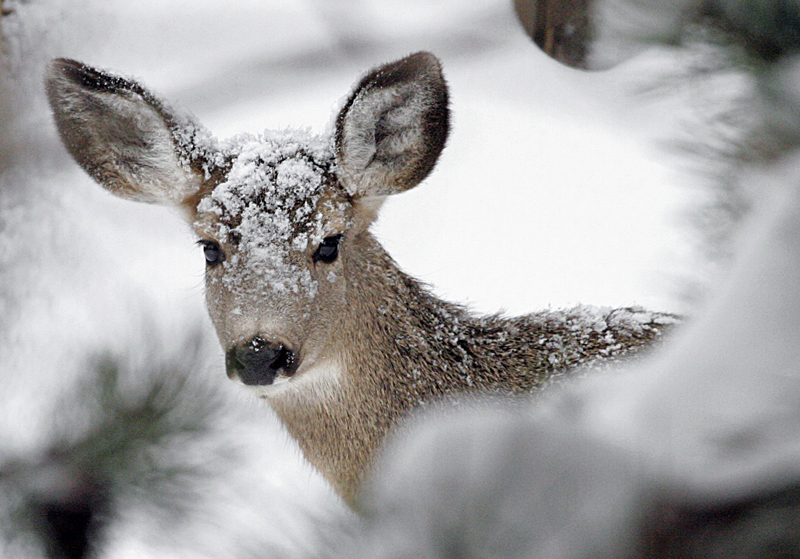 Central Oregon's mule deer populations have been in decline for several decades, according to the Oregon Fish and Wildlife Department.
