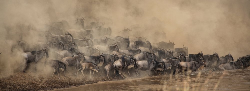 wildebeest shripal-daphtary-278736-unsplash.jpg